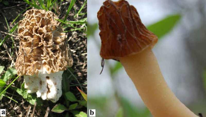 Ранньовесняні гриби урочища лиса гора